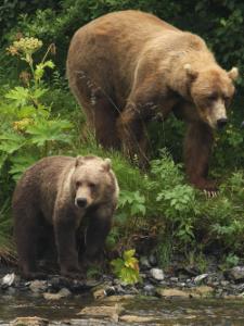 La bouts de la terre : Un ours brun abattu