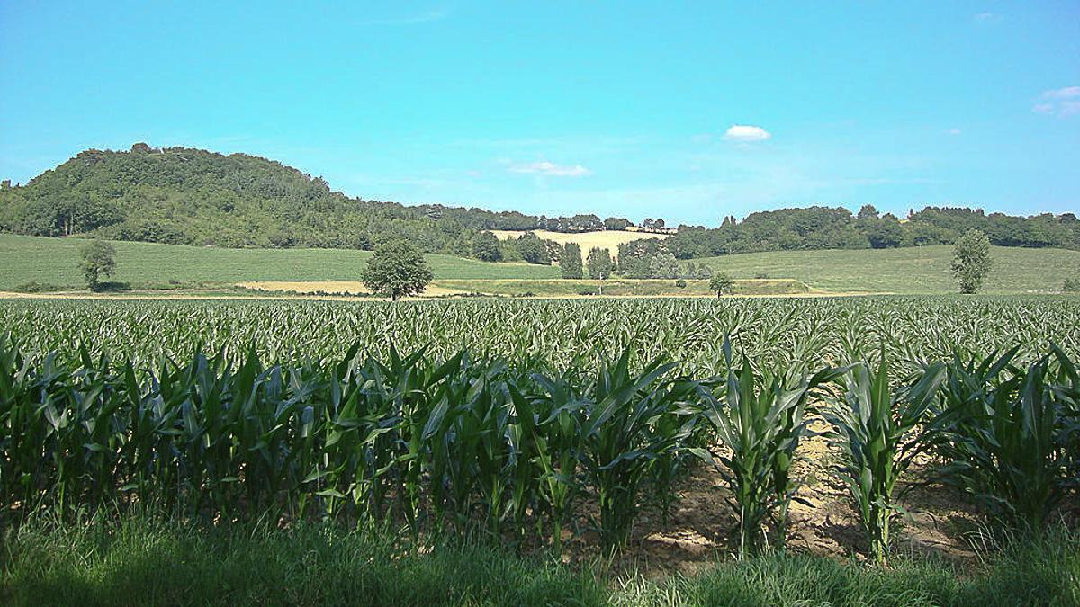 Champs de maïs dans le Gers