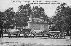 Attelage de bœufs en Gascogne gersoise