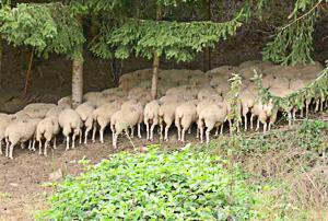 Moutons dans la forêt d'Iraty