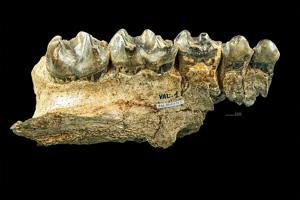 Chalicotherium goldfussi astaracien